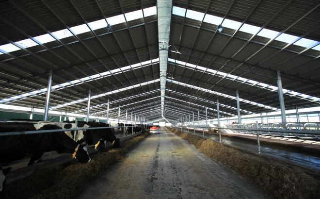 Modern dairy farming - View of dairy cows inside a dairy barn.